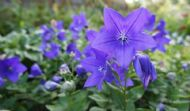 Balloon Flower Blue 30 Seeds, Chinese Bellflower -Most reliable blue bloomers!